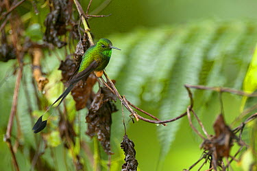 Booted Racket-tail (Ocreatus underwoodii) hummingbird male, Andes, Ecuador  -  Murray Cooper