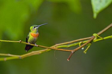 Gould's Jewelfront (Heliodoxa aurescens) hummingbird, Yasuni National Park, Amazon, Ecuador  -  Murray Cooper