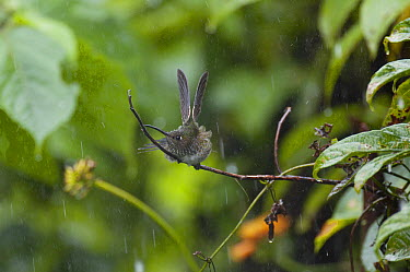 Many-spotted Hummingbird (Taphrospilus hypostictus) bathing in rain, eastern Andes, Ecuador  -  Murray Cooper