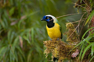 Green Jay (Cyanocorax yncas), eastern Andes, Ecuador  -  Murray Cooper
