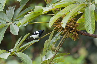 Magpie Tanager (Cissopis leverianus), Amazon, Ecuador  -  Murray Cooper