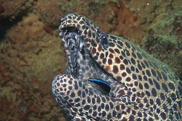 Honeycomb Moray Eel (Gymnothorax favagineus) being cleaned by Blue-streaked Cleaner Wrasse (Labroides dimidiatus), Ambon, Indonesia  -  Norbert Wu