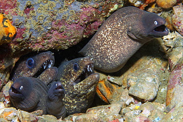 White-eyed Moray (Siderea thyrsoidea) trio and another moray species sharing hole, Ambon, Indonesia  -  Norbert Wu