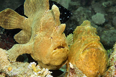 Commerson's Frogfish (Antennarius commersonii) pair, Ambon, Indonesia  -  Norbert Wu