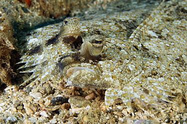 Leopard Flounder (Bothus pantherinus) camouflaged on ocean floor, Ambon, Indonesia  -  Norbert Wu