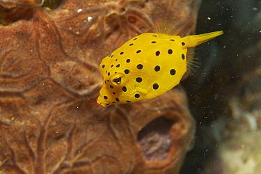 Yellow Boxfish (Ostracion cubicus), Ambon, Indonesia  -  Norbert Wu