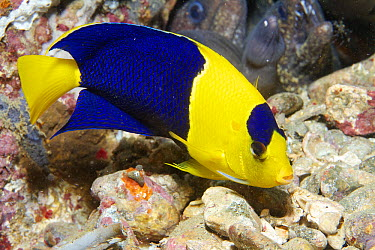 Blue And Gold Angelfish (Centropyge bicolor), Ambon, Indonesia  -  Norbert Wu