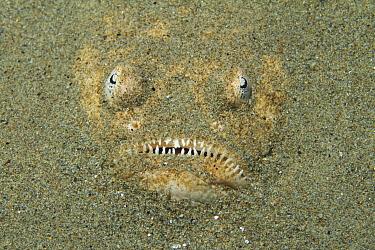 Stargazer (Uranoscopus sp) buried in sand, Ambon, Indonesia  -  Norbert Wu