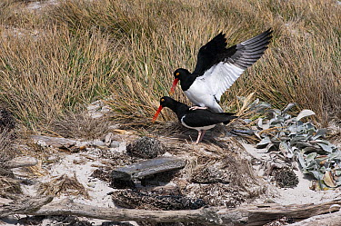 Magellanic Oystercatcher (Haematopus leucopodus) pair mating, Falkland Islands  -  Flip  Nicklin