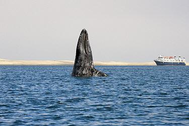 Gray Whale (Eschrichtius robustus) spy-hopping near cruise ship, Baja California, Mexico  -  Flip  Nicklin