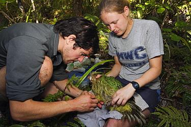 Kakapo (Strigops habroptilus) having blood taken by researchers, Codfish Island, New Zealand  -  Stephen Belcher