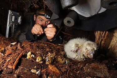 Kakapo (Strigops habroptilus) researcher inside nest with chick, infrared camera to the left of image, Codfish Island, New Zealand  -  Stephen Belcher