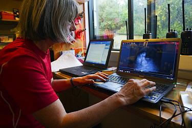 Kakapo (Strigops habroptilus) researcher reviewing infrared video on laptop, Codfish Island, New Zealand  -  Stephen Belcher