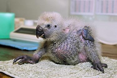Kakapo (Strigops habroptilus) chick after feeding, Codfish Island, New Zealand  -  Stephen Belcher