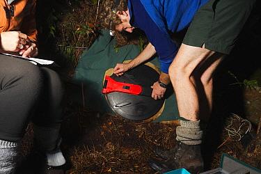 Kakapo (Strigops habroptilus) nest entrance opened by researcher, Codfish Island, New Zealand  -  Stephen Belcher