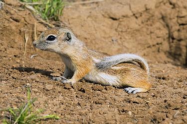 Nelson's Antelope-squirrel (Ammospermophilus nelsoni), Carrizo Plain National Monument, California  -  Kevin Schafer