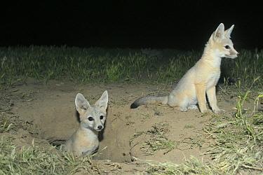 San Joaquin Kit Fox (Vulpes macrotis mutica) pups coming out of burrow at night, Carrizo Plain National Monument, California  -  Kevin Schafer
