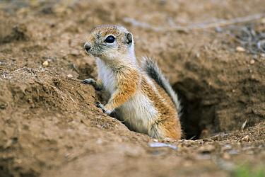 California Ground Squirrel (Spermophilus beecheyi) emerging from burrow, Carrizo Plain National Monument, California  -  Kevin Schafer