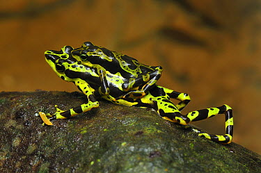 Condoto Stubfoot Toad (Atelopus spurrelli) pair in amplexus, Utria National Park, Colombia  -  Thomas Marent