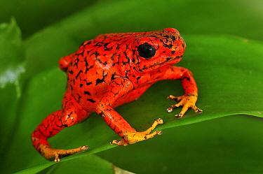 Harlequin Poison Dart Frog (Dendrobates histrionicus) codicia color morph, Colombia  -  Thomas Marent