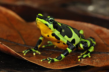 Condoto Stubfoot Toad (Atelopus spurrelli), Utria National Park, Colombia  -  Thomas Marent