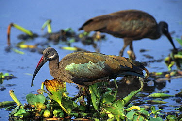 Hadada Ibis (Bostrychia hagedash) pair foraging, Lake Nakuru, Kenya  -  Konrad Wothe