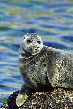 Baikal Seal (Phoca sibirica), Lake Baikal, Zabaikalsky National Park, Russia  -  Konrad Wothe
