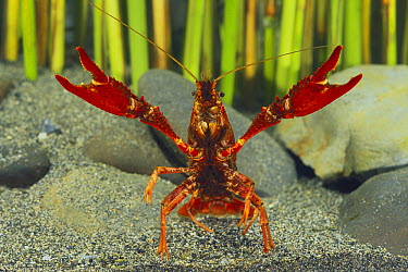 Louisiana Crayfish (Procambarus clarkii) in defensive posture, Shiga, Japan  -  Shigeki Iimura/ Nature Productio
