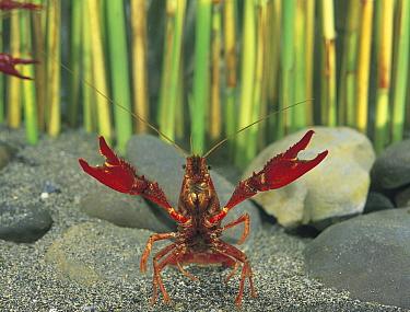 Louisiana Crayfish (Procambarus clarkii) in defensive posture with claws raised, Shiga, Japan  -  Shigeki Iimura/ Nature Productio