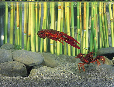 Louisiana Crayfish (Procambarus clarkii) pair, Shiga, Japan  -  Shigeki Iimura/ Nature Productio