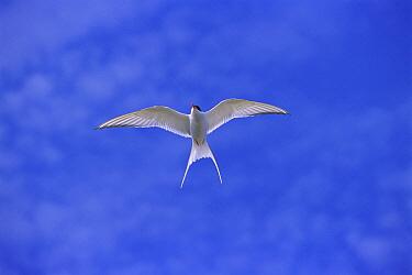 Arctic Tern (Sterna paradisaea), Nunavut, Canada  -  Toshiji Fukuda/ Nature Productio