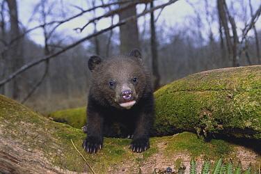 Asiatic Black Bear (Ursus thibetanus) cub climbing over log, Russia  -  Toshiji Fukuda/ Nature Productio