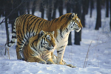 Siberian Tiger (Panthera tigris altaica) pair in snow  -  Toshiji Fukuda/ Nature Productio