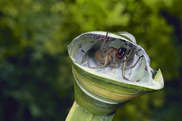 Long-legged Sac Spider (Cheiracanthium japonicum)  -  Atsuo Fujimaru/ Nature Productio
