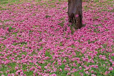 Sour Cherry (Prunus cerasus) flowers fallen around trunk, Hokkaido, Japan  -  Masami Goto/ Nature Production