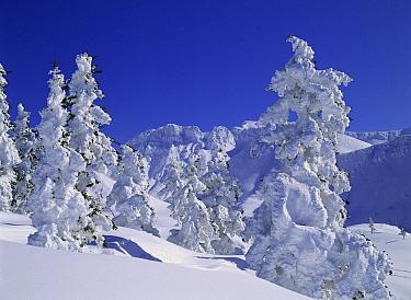 Sakhalin Spruce (Picea glehnii) covered in snow, Hokkaido, Japan  -  Masami Goto/ Nature Production