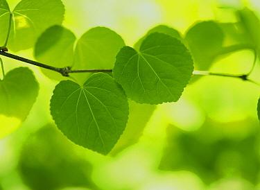Katsura Tree (Cercidiphyllum japonicum) twig and leaves, Hokkaido, Japan  -  Masami Goto/ Nature Production