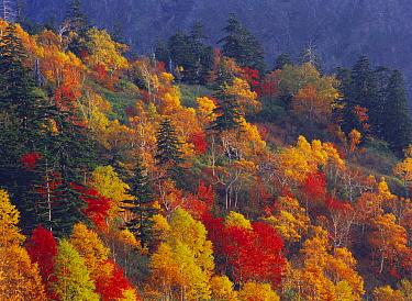 Forest with autumn foliage, Mount Tokachidake, Hokkaido, Japan  -  Masami Goto/ Nature Production