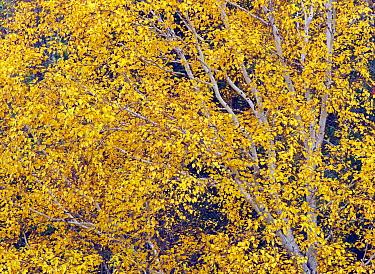 Russian Rock Birch (Betula ermanii) foliage in autumn colors, Hokkaido, Japan  -  Masami Goto/ Nature Production