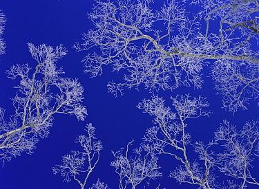 Soft rime on branches, Hokkaido, Japan  -  Masami Goto/ Nature Production