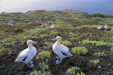 Short-tailed Albatross (Phoebastria albatrus) pair near breeding colony, Torishima, Izu Islands, Japan  -  Hiroshi Hasegawa/ Nature Product