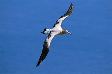 Short-tailed Albatross (Phoebastria albatrus) adult flying over ocean, Torishima, Izu Islands, Japan  -  Hiroshi Hasegawa/ Nature Product