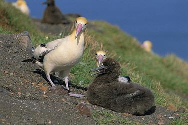 Short-tailed Albatross (Phoebastria albatrus) pair and chick at nest, Torishima, Izu Islands, Japan  -  Hiroshi Hasegawa/ Nature Product