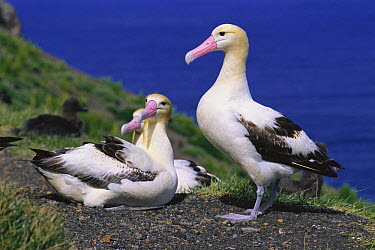 Short-tailed Albatross (Phoebastria albatrus) pair at nest, Torishima, Izu Islands, Japan  -  Hiroshi Hasegawa/ Nature Product