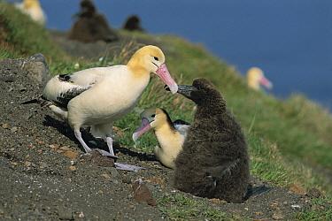 Short-tailed Albatross (Phoebastria albatrus), Torishima, Izu Islands, Japan  -  Hiroshi Hasegawa/ Nature Product