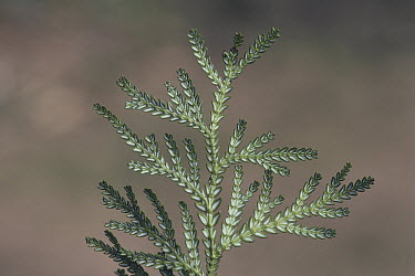 Hiba False Arborvitae (Thujopsis dolabrata) leaves  -  Ciabou Hany/ Nature Production