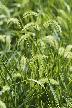 Green Bristlegrass (Setaria viridis) flower  -  Takahisa Hirano/ Nature Producti