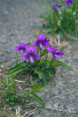 Violet (Viola mandshurica) blooming from crack in sidewalk, Tokyo, Japan  -  Takahisa Hirano/ Nature Producti