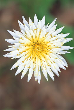 White Dandelion (Taraxacum albidum), Jindai Botanical Garden, Tokyo, Japan  -  Takahisa Hirano/ Nature Producti