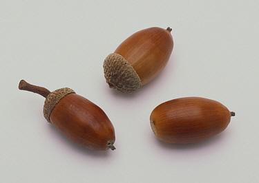 Konara Oak (Quercus serrata) acorns, Tokyo, Japan  -  Takahisa Hirano/ Nature Producti